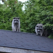 roof pests